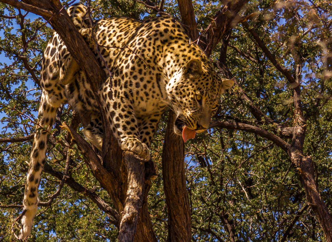 Sambia Leopard South Luangwa Nationalpark Safari Reise
