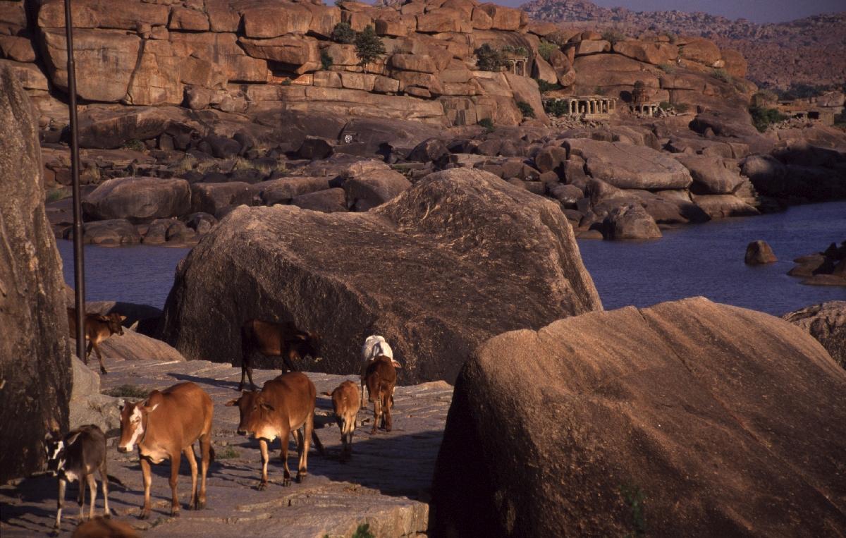 Indien Reisen Tiere Büffel